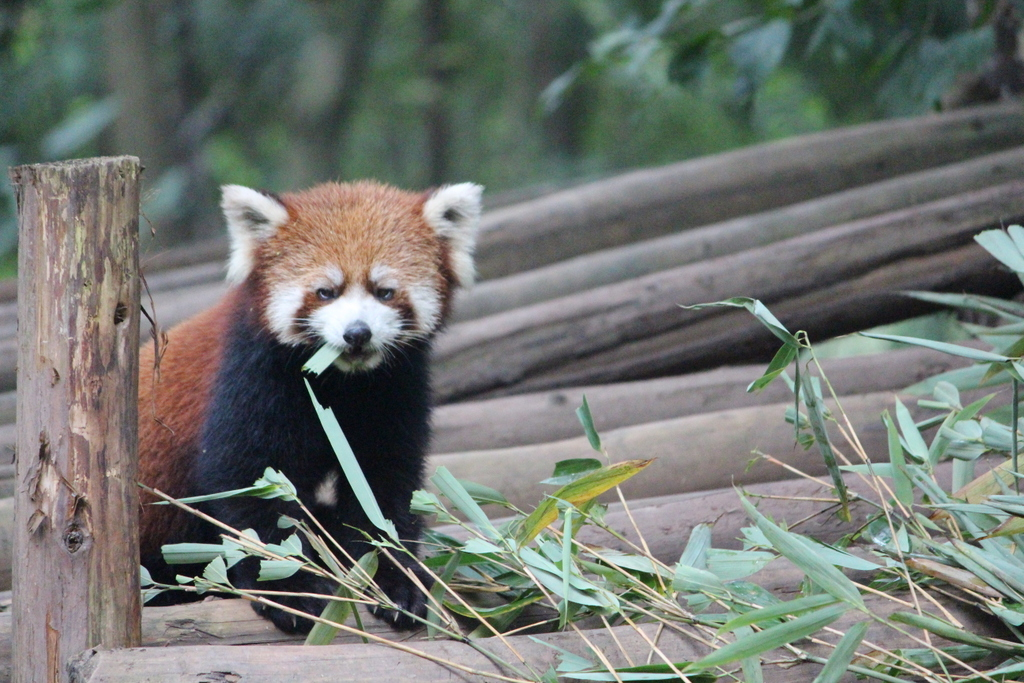 The panda center also had red pandas.....which aren't actually pandas but are pretty cute anyway