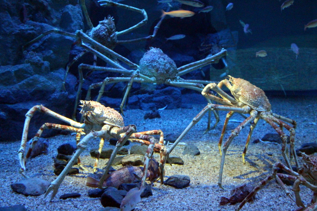 Osaka: The Osaka aquarium featured spider crabs with (no joke) legs as long as my arms. SUPER COOL to watch.
