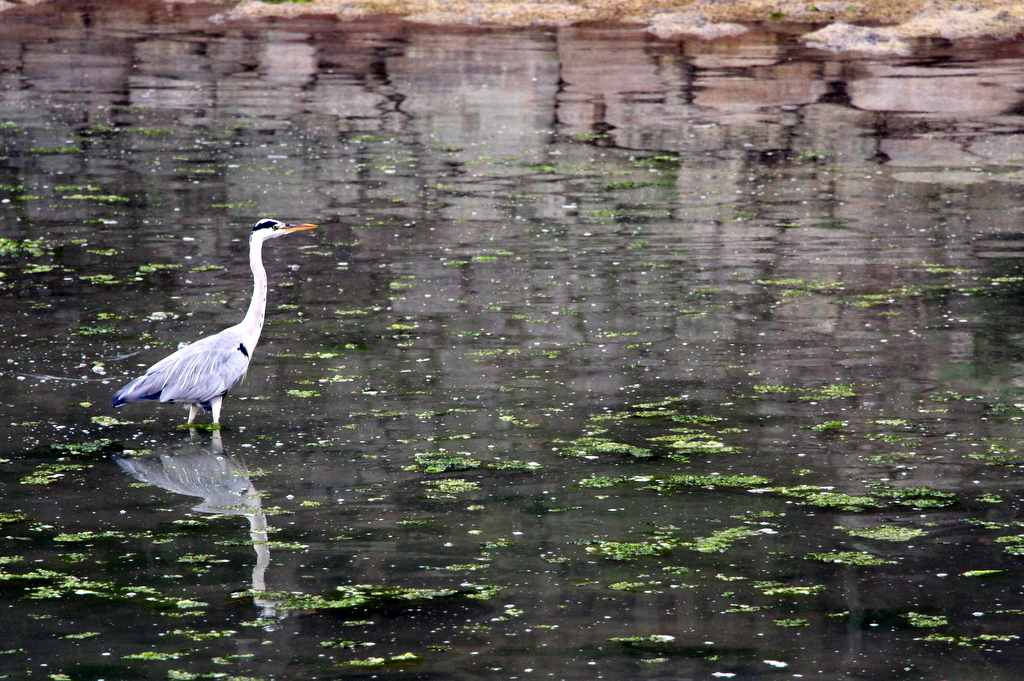 Miyajima: Kelsi captured this photo of a crane