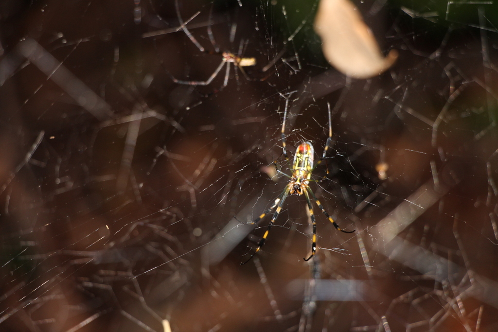 Miyajima: We haven't had any encounters with nasty bugs or wildlife, but we did spot this colorful spider on the mountain trail in Miyajima
