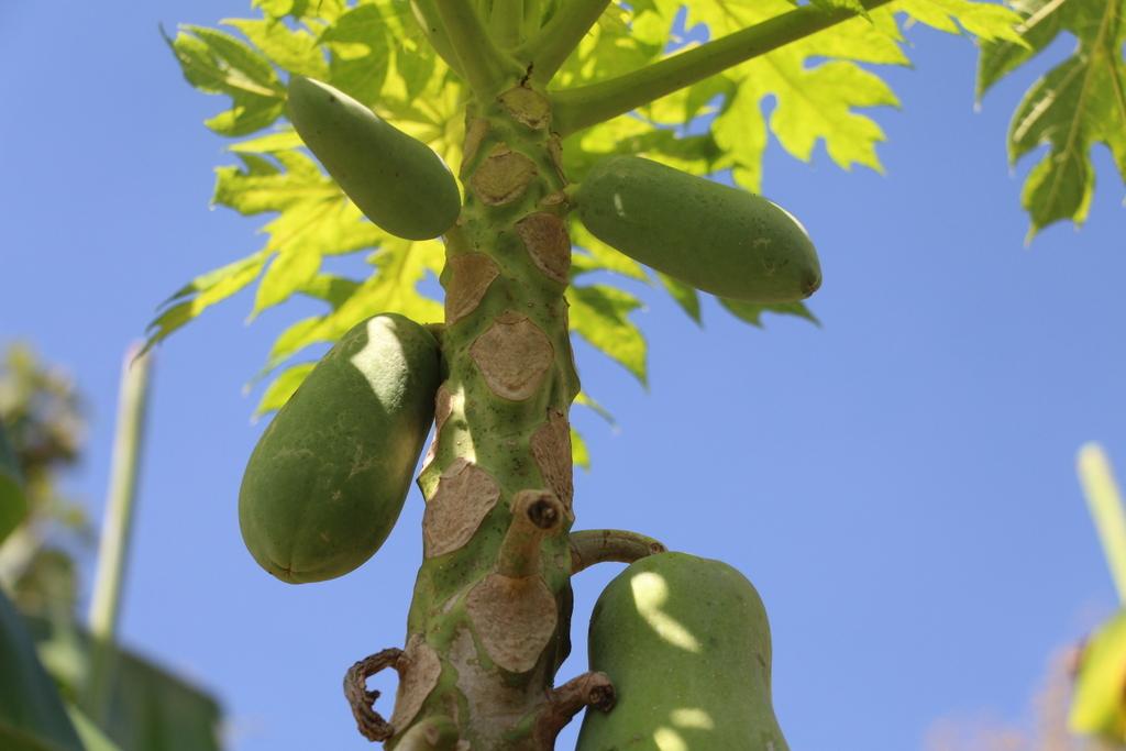 Green papaya growing in the farm.