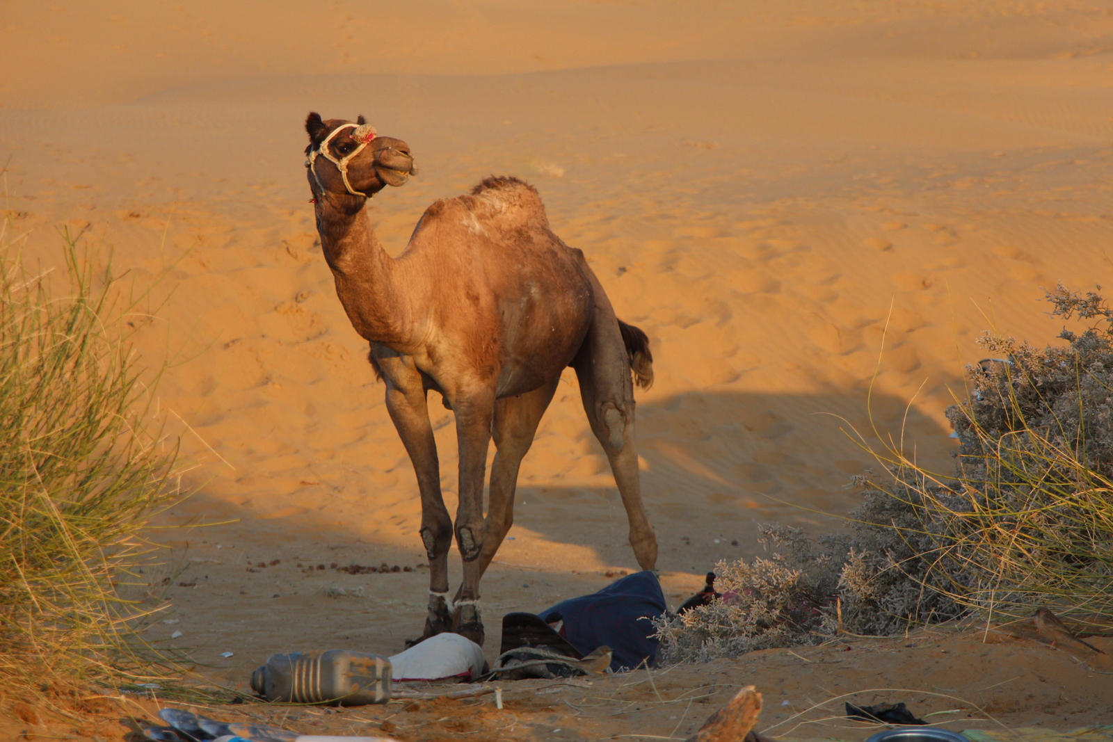 Whenever we stopped for a meal or to rest, the camels were unloaded and allowed to wander as they liked. To ensure that they didn't wander off too far, our guides tied their front legs together, like you can see here.