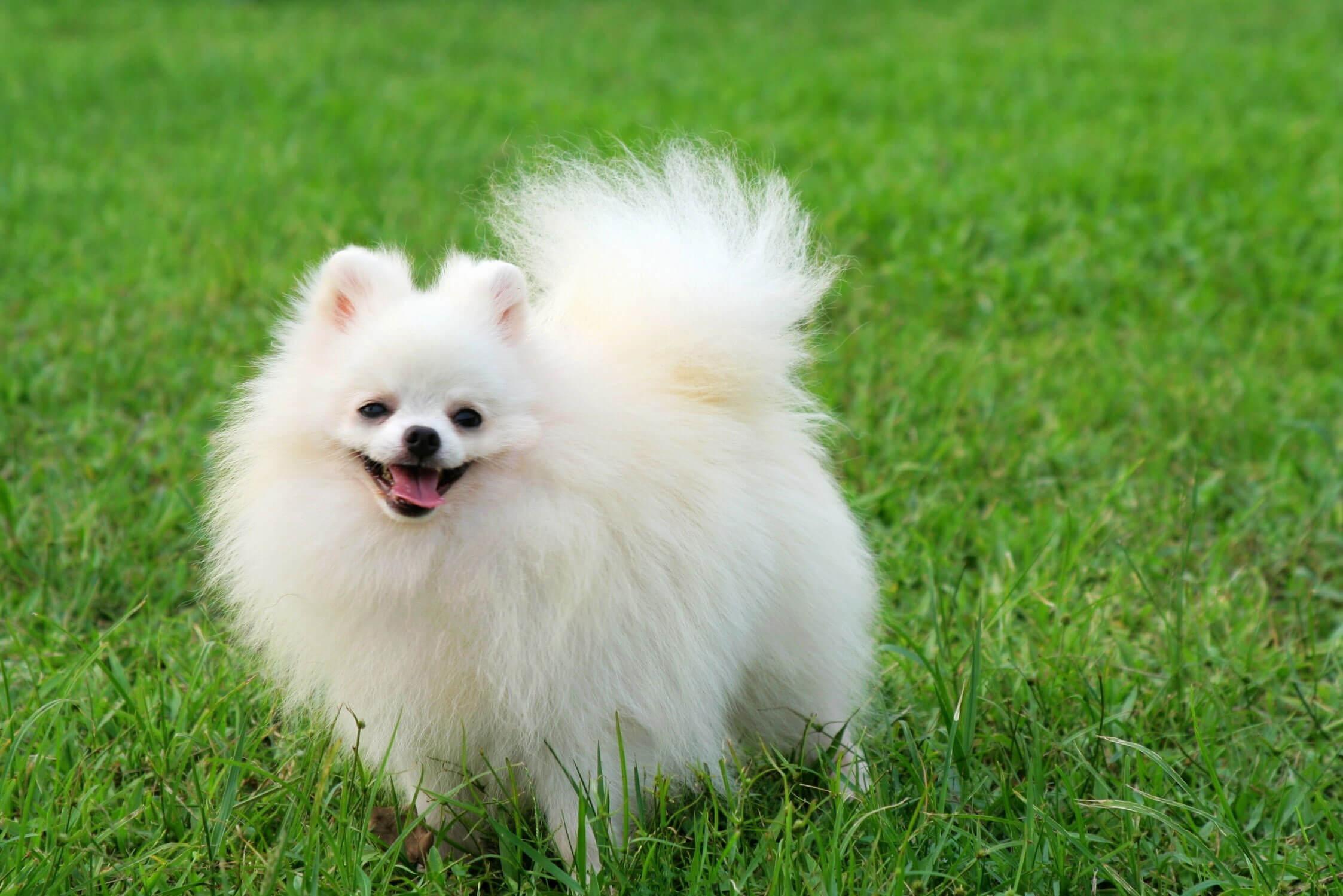 Source:http://www.dog-learn.com/dog-breeds/pomeranian/