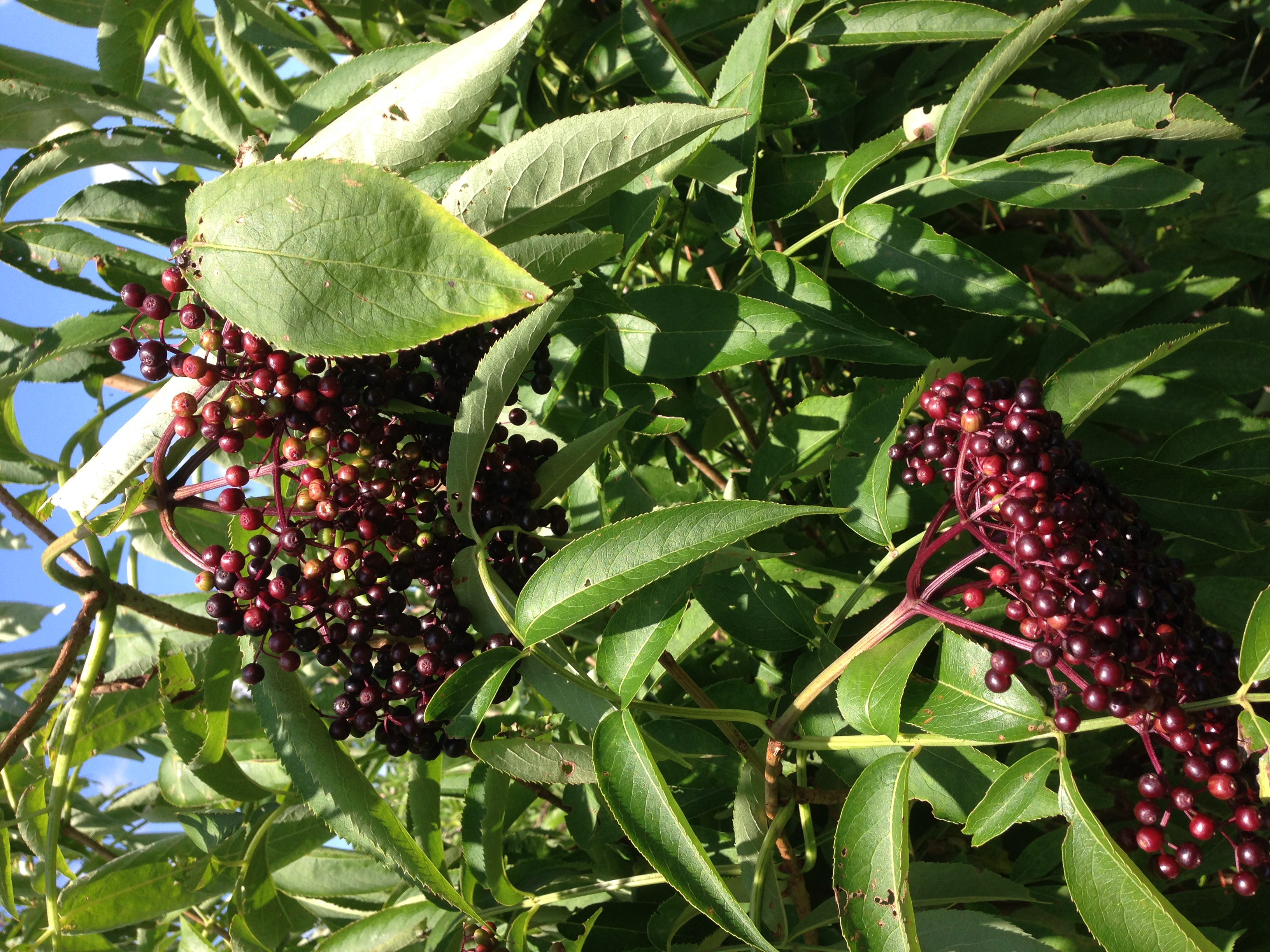 Elderberries on the tree about to be made into healing syrup!