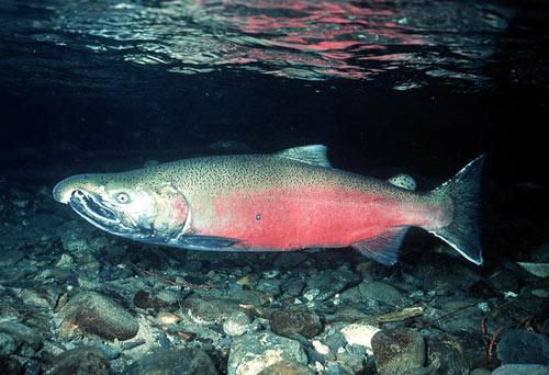 Pretty little sockeye salmon on a stroll