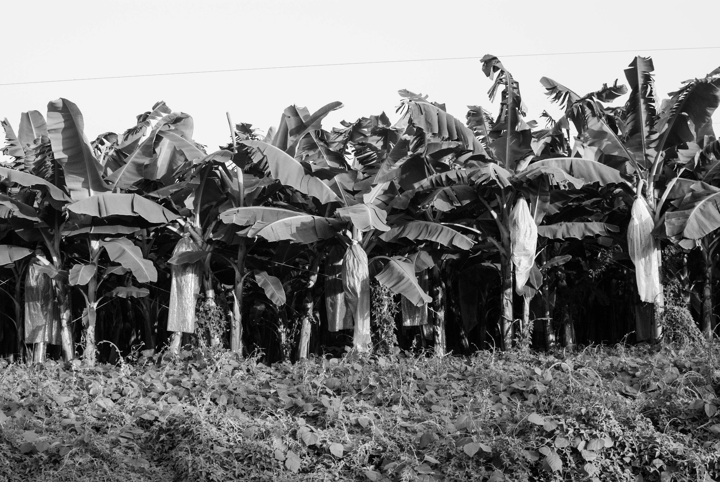 Su hábitat son principalmente las regiones tropicales y subtropicales. Se cosechan durante todo el año.   Its habitat is mainly tropical and subtropical regions. As a non-seasonal crop, bananas are available fresh year-round.