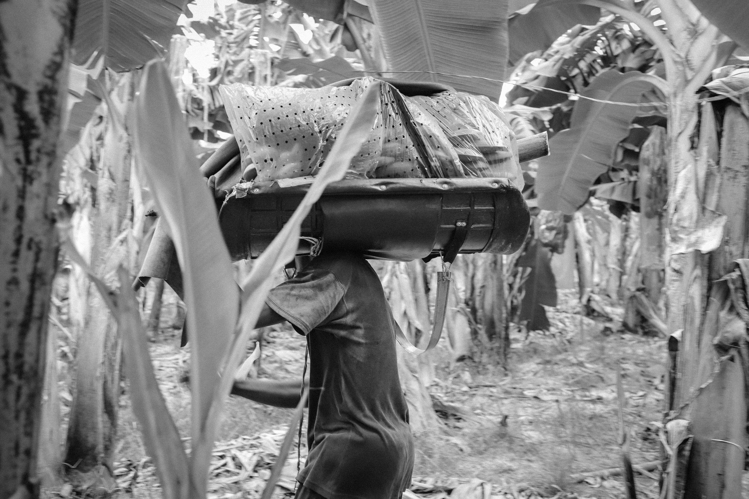 Después de nueve meses, se cosechan los plátanos cuando aun están verdes. En total puede producir unos 300 a 450 frutos por espiga, pesando más de 50 kg.   After nine months, bananas are harvested when they are still green. In total it can produce about 300 to 450 fruits per spike, weighing more than 50 kg.