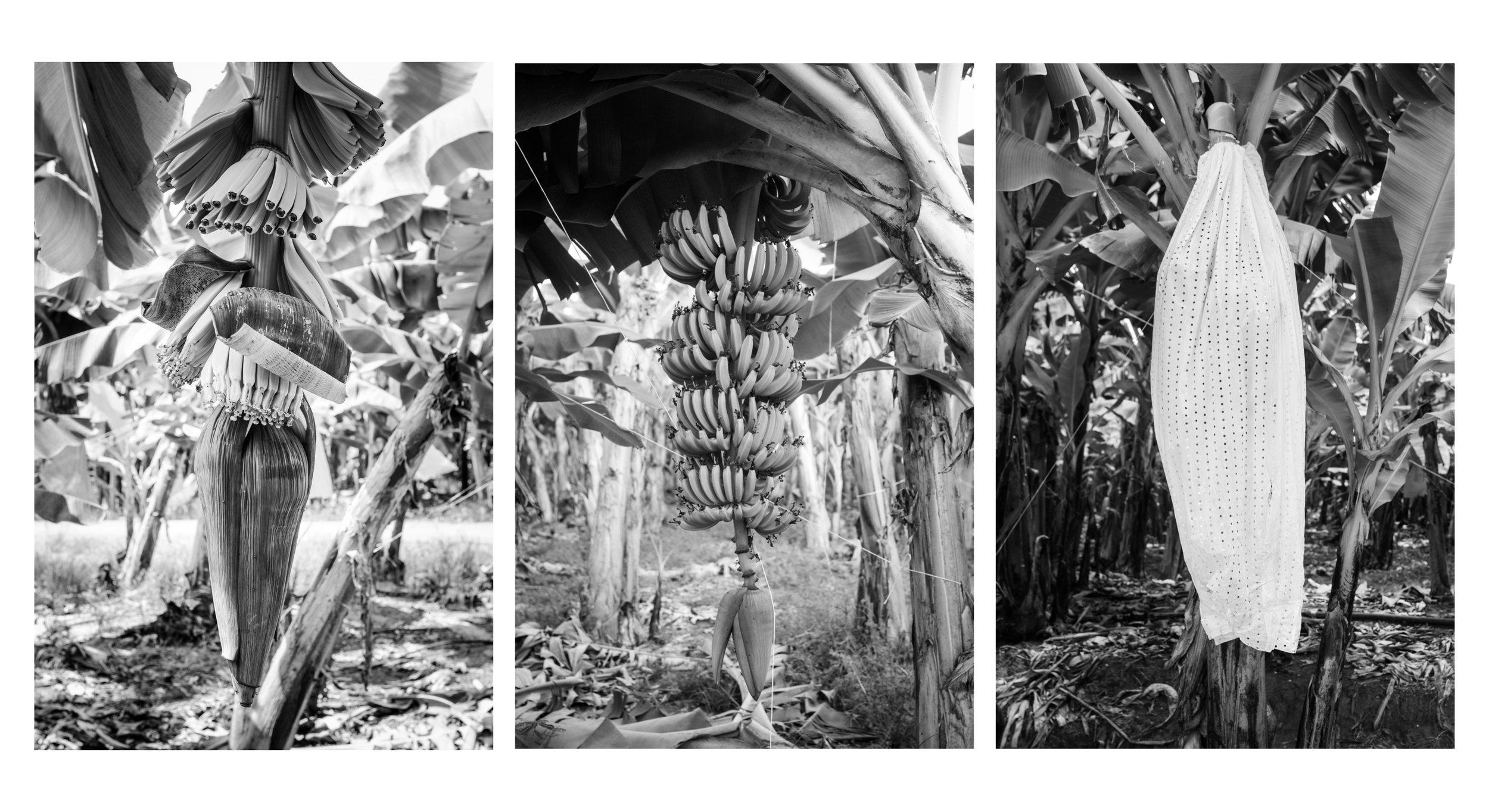 El tiempo entre la siembra de una planta y la cosecha es de 9 a 12 meses. La flor aparece en el sexto o séptimo mes. Y se convierte finalmente en un racimo de bananas.   The time between planting and harvesting is between 9 to 12 months. The flower appears in the sixth or seventh month. It finally becomes a raceme of bananas.