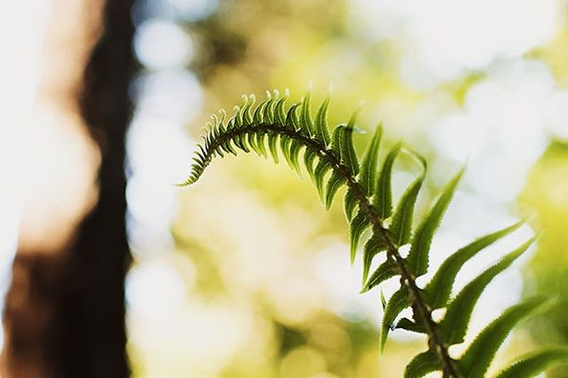 what we missed.... I captured this beautiful fern while camping at goldstream. It's one of my favorite images ⛺🌿 . . . . #goldstreamprovincialpark #plantsofbritishcolumbia #explorebc #thedocumentarymovement