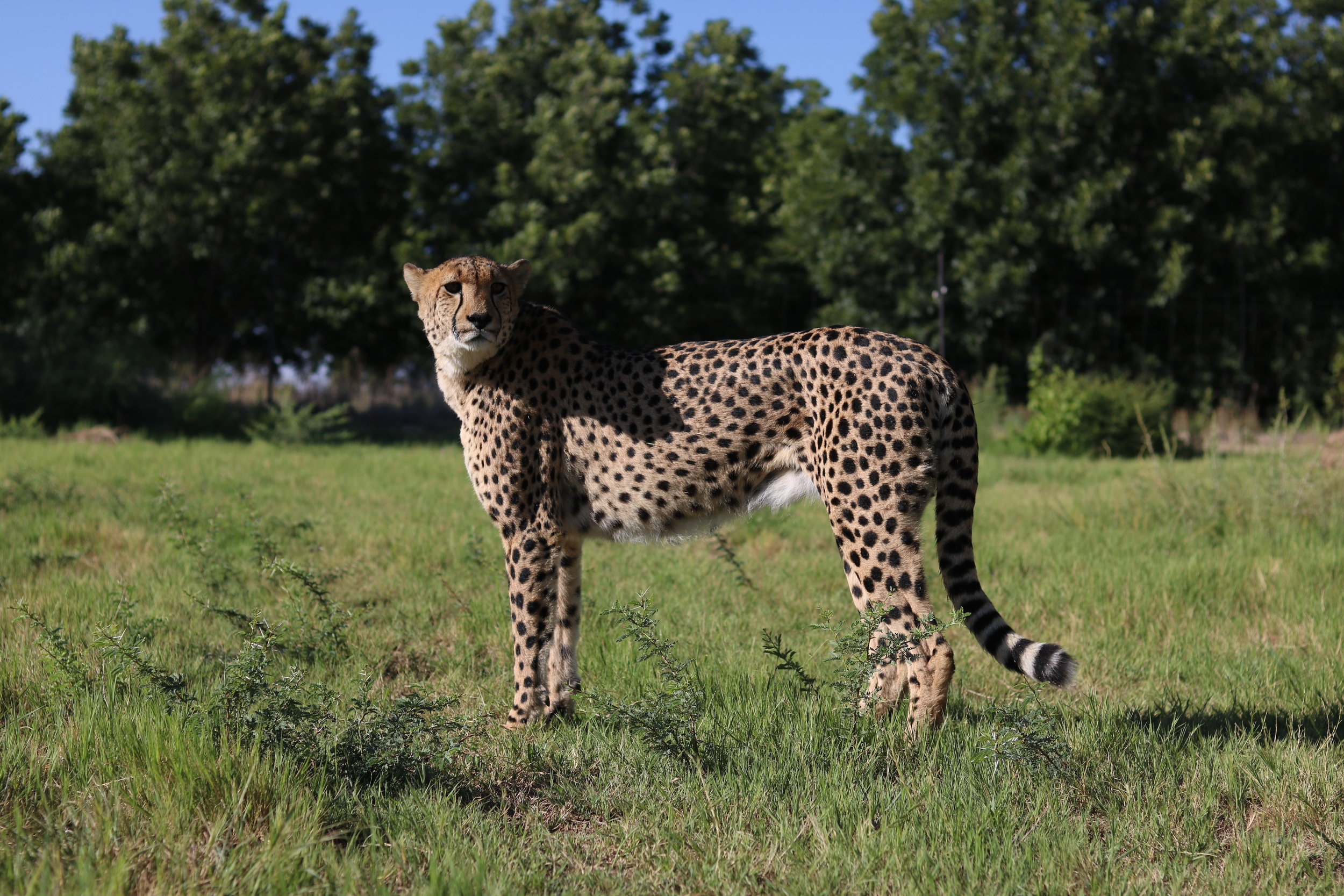 Mbogo Cheetah Centre — Mbogo Game Services