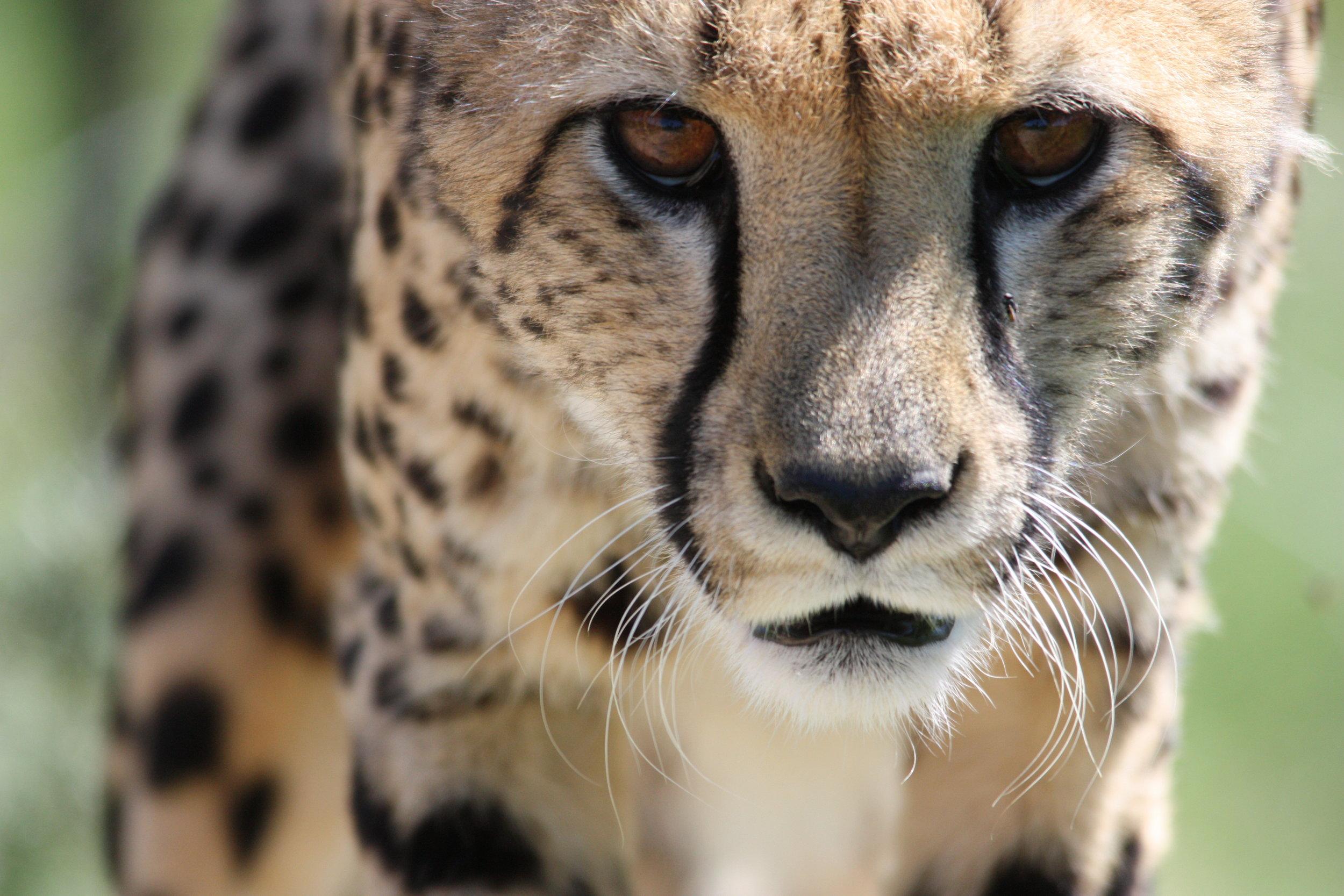 April 6, 2015. Cheetahs Jakhalskop (84).JPG