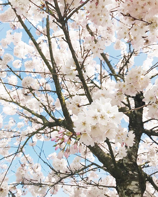 Though I've lived here on the coast for years, every spring when the trees on every street come alive in blooms, it still feels like magic. This was weeks ago, but now I've just come back from the UK, more to share with you soon (and full of blooms, you can be sure!) • • • • • #ohthatsdarling #simplepleasures #smallpleasures #beautifulbc #discoverbc #igersbc  #northwestisbest #livedeep #shareyournorth #happyadventuring #foundlost #explorecanada #explorebc #ILoveBC  #explorepnw #thatpnwlife  #lesphotographes #wanderfolk #stayandwander #mobilemag #veryvancouver #ChasingEmotions #lookup #westcoastliving #yvrlife #yvrliving  #hellobc #vscovancouver #pnw #discovervancouver