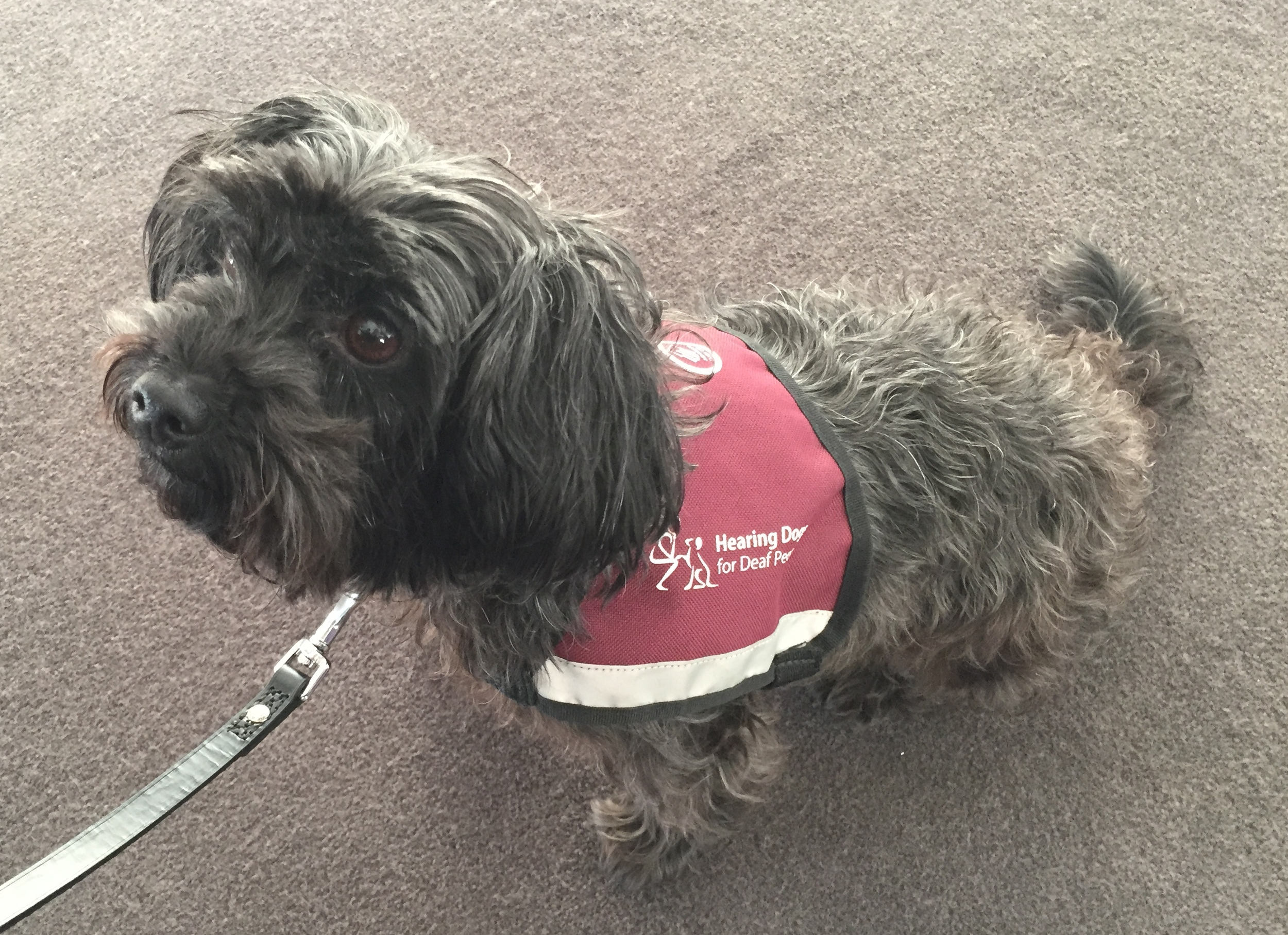 Gorgeous Hearing Dog helping at the Standard Life event for Scope at the Gherkin