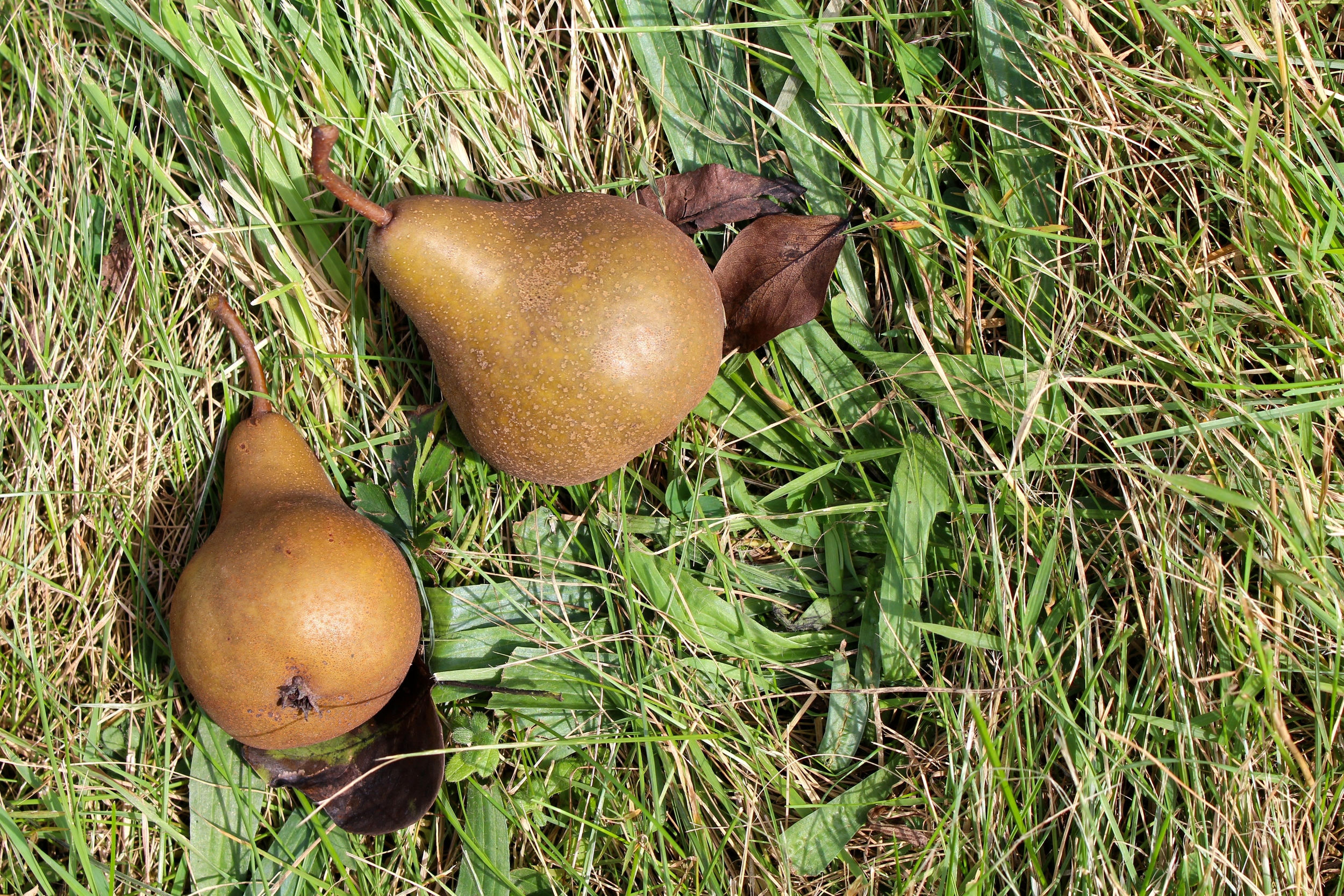 early autumn pears