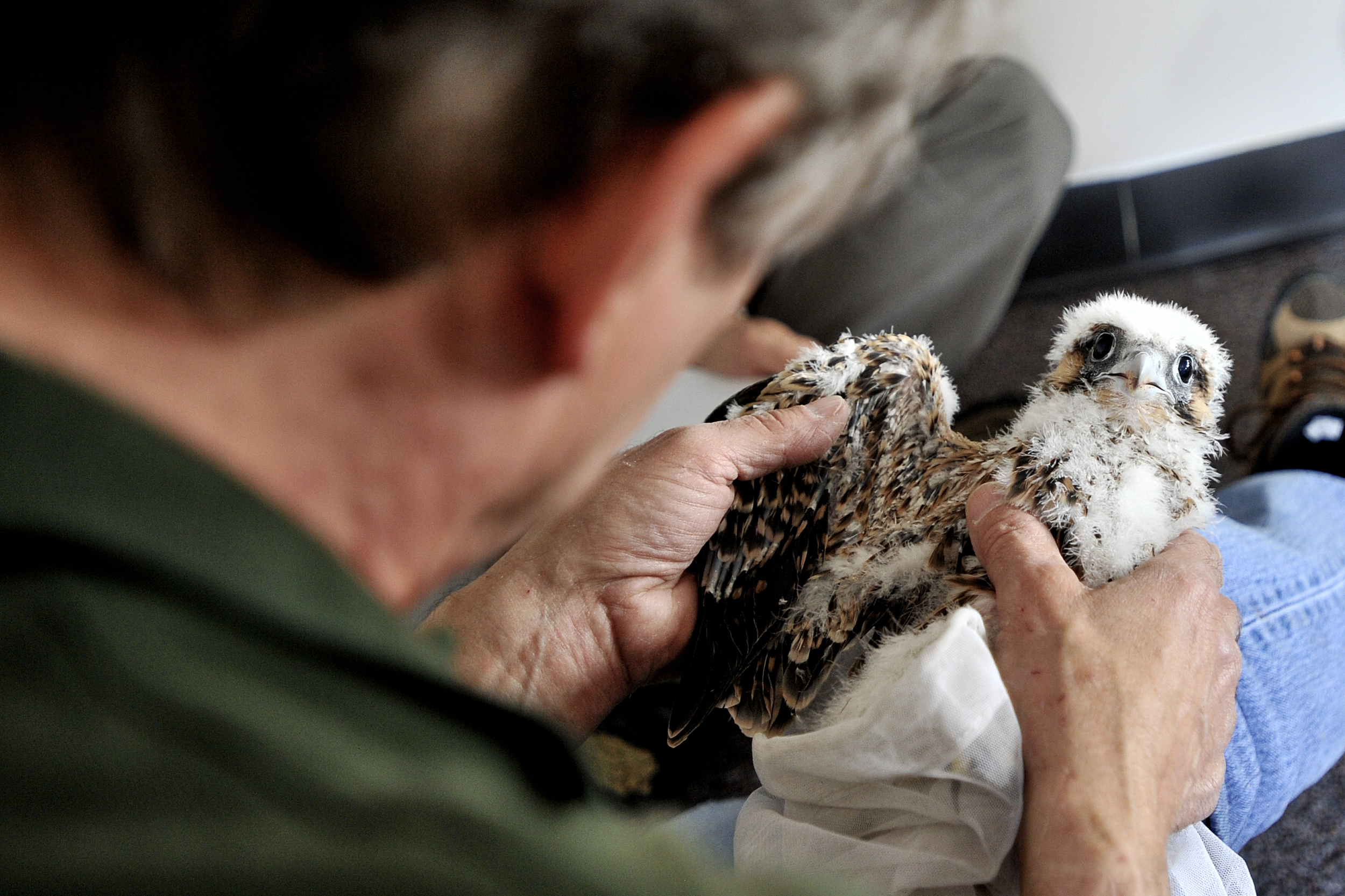 Art McMorris, a Peregrine falcon specialist from the Pennyslvania Game Commission, examines the wings of the nestling falcon during the banding of the Peregrine falcons at the Callowhill building in Reading, PA, on May 25, 2016. (Reading Eagle: Sarah Stier)