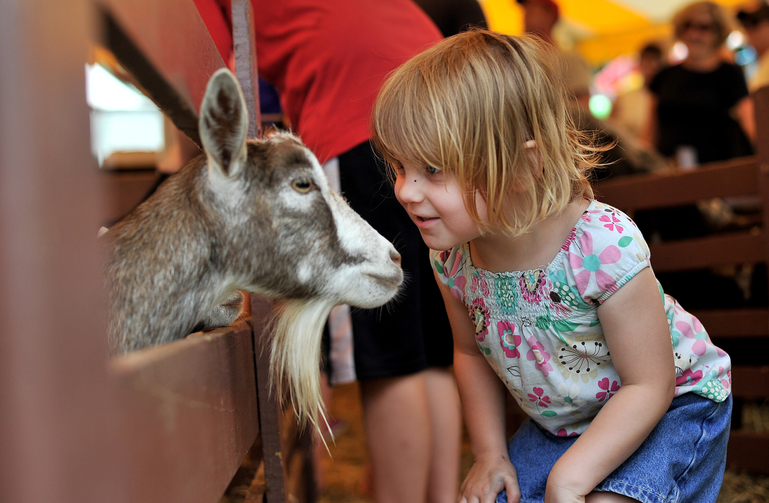 Sophia Klouser, 3, of Temple meets a goat in the petting zoo at the Kutztown Folk Festival in Kutztown, PA, on July 5, 2016. (Reading Eagle: Sarah Stier)