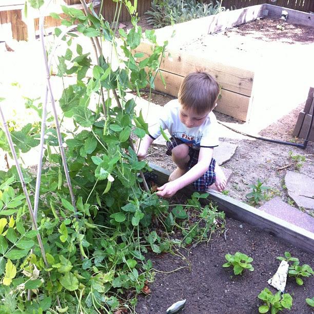 Aidan harvesting peas in the garden, 2011.