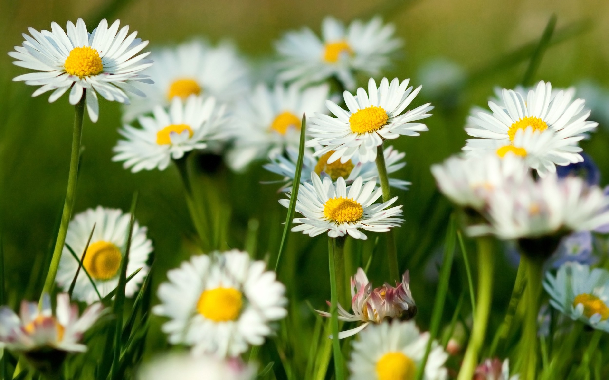 chamomile-flowers-summer-grass-herbs1st.jpg