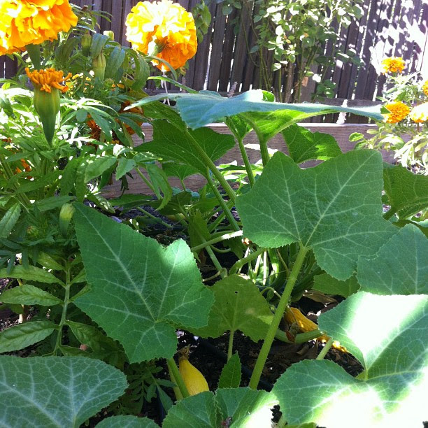 Calendula companion planted with yellow squash. Merry Spinster garden.
