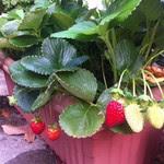 Summer Strawberries.jpg