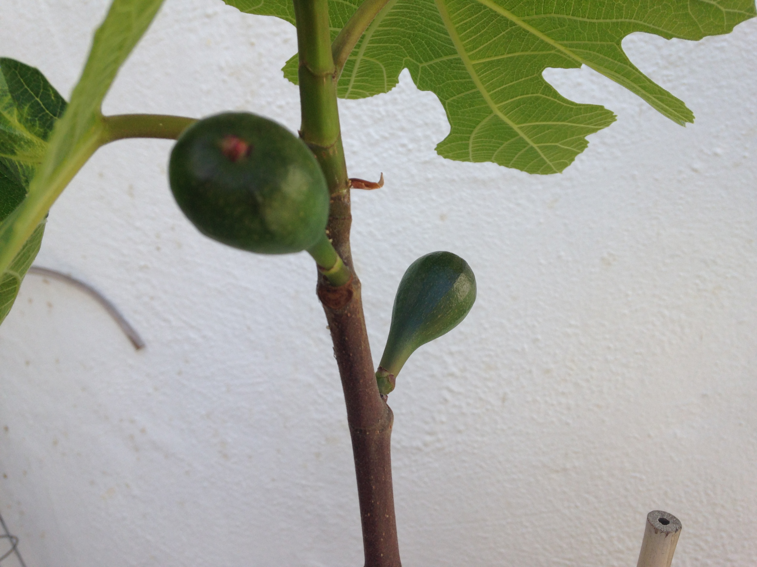 Spring leaves and the first figs appear.