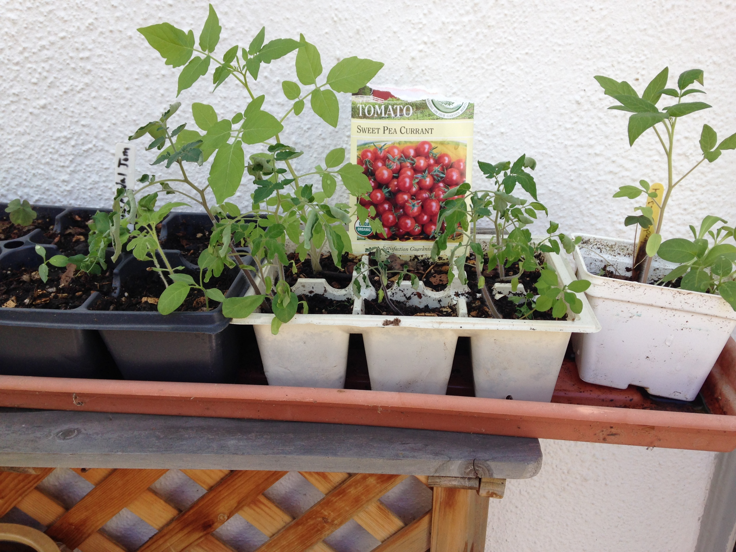 Tomato, pea and Calendula seedlings hardening off outdoors.