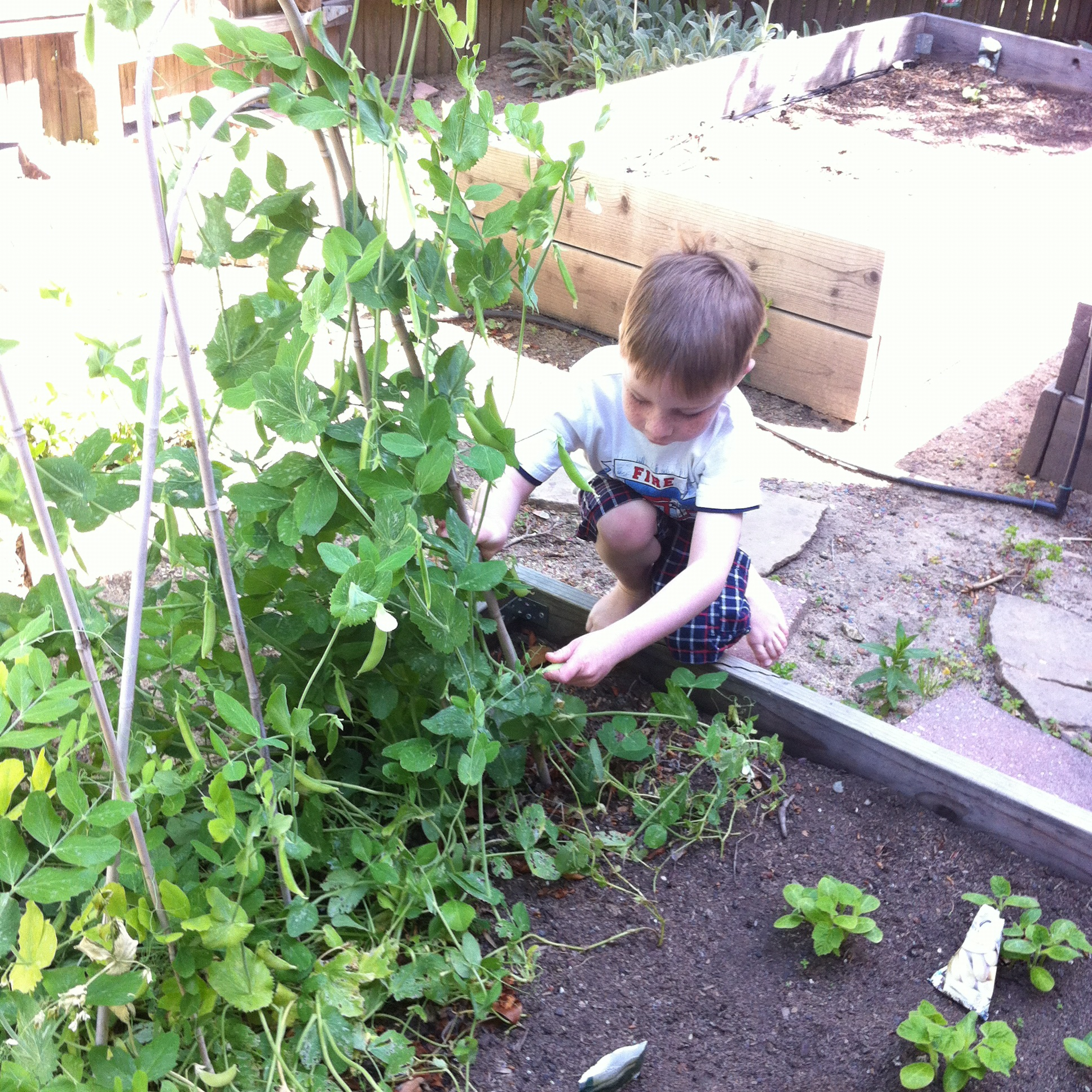 My son Aidan harvesting peas in our garden.