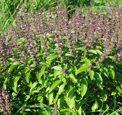 Tulsi plant in flower.
