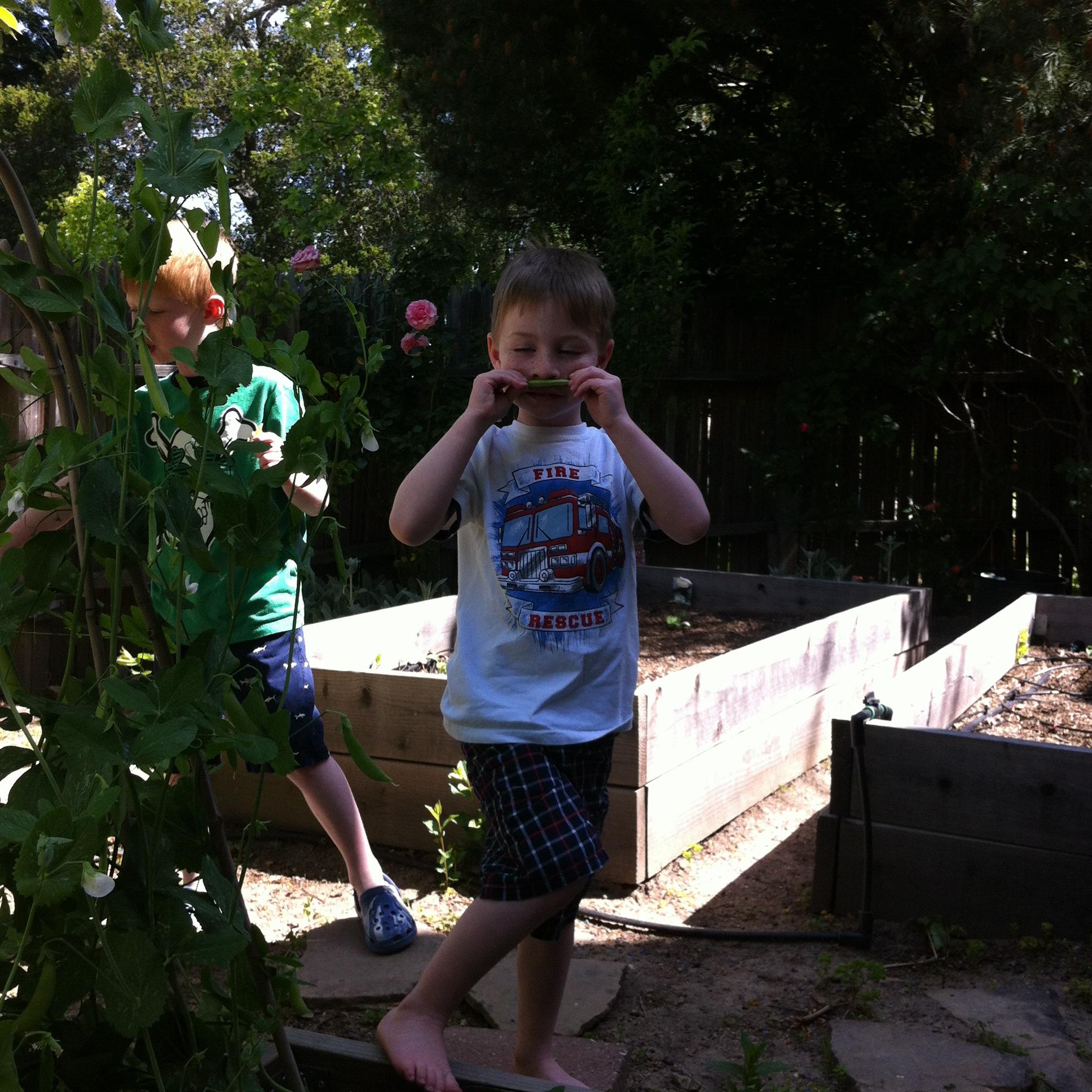 My boys picking peas in our kitchen garden, 2011.