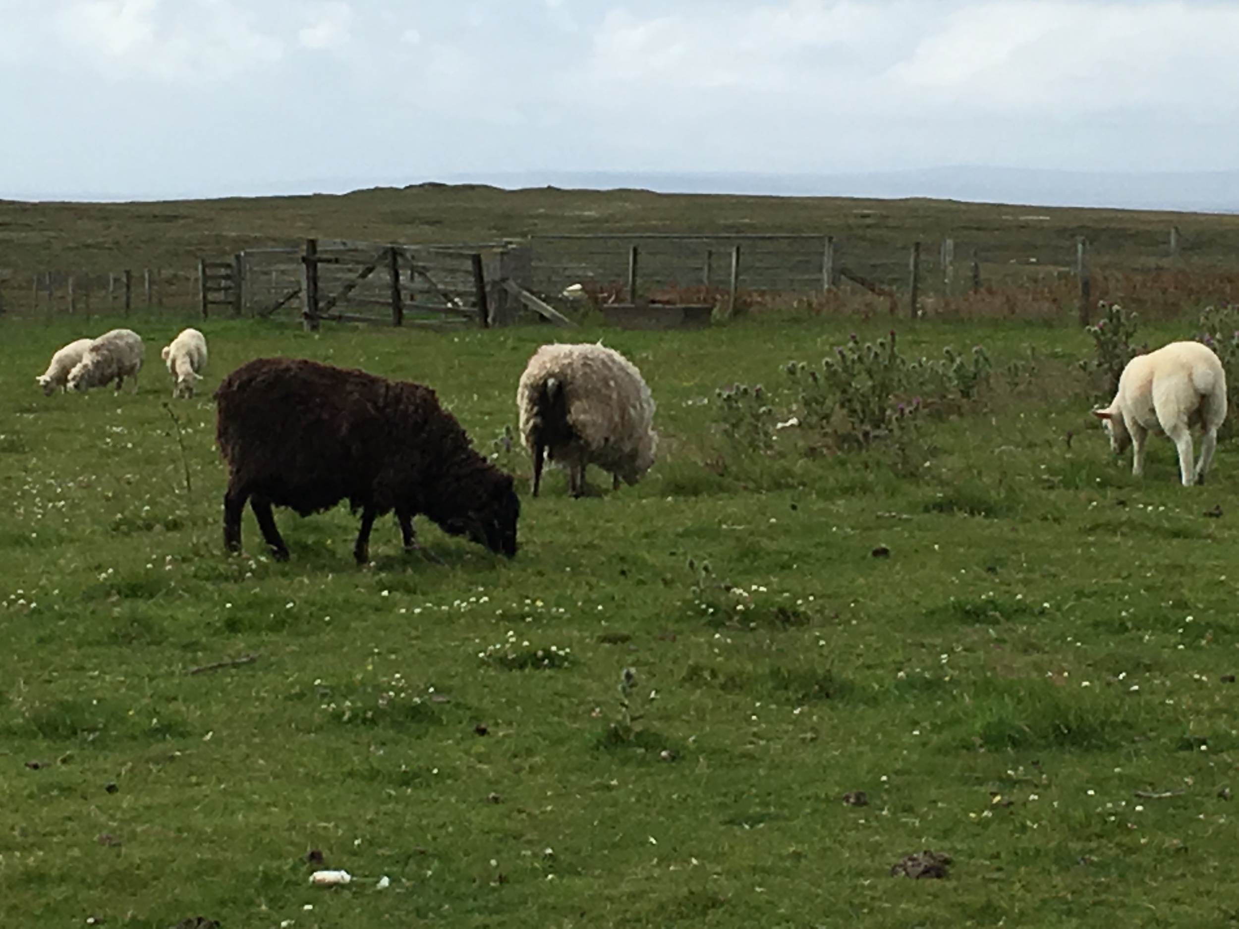 Sheep residents.