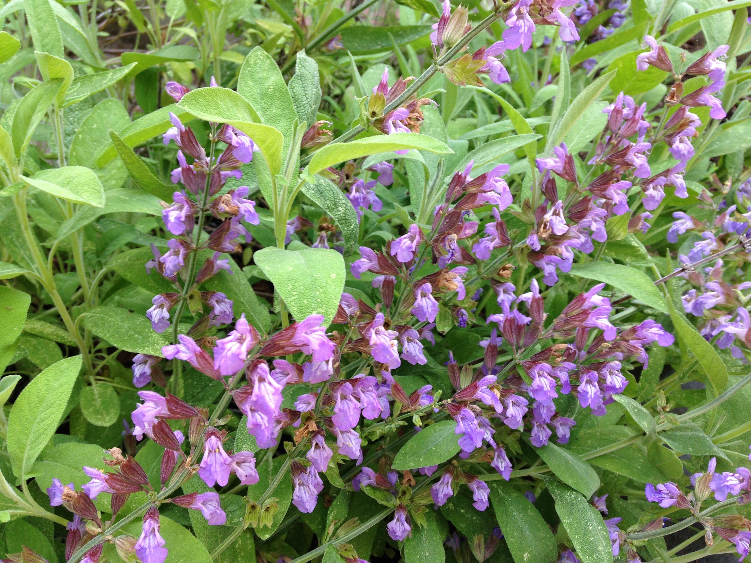 Sage blooming in my garden.