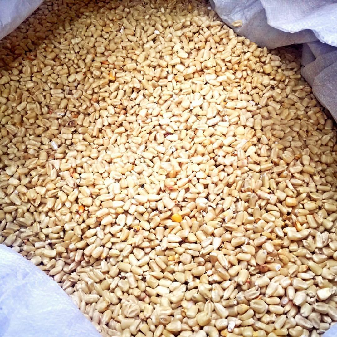 White Corn grown in Hermiston oregon