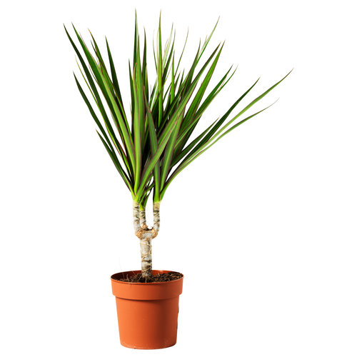 dracaena-marginata-potted-plant-dragon-tree-1-stem__0112750_pe264649_s5.jpg