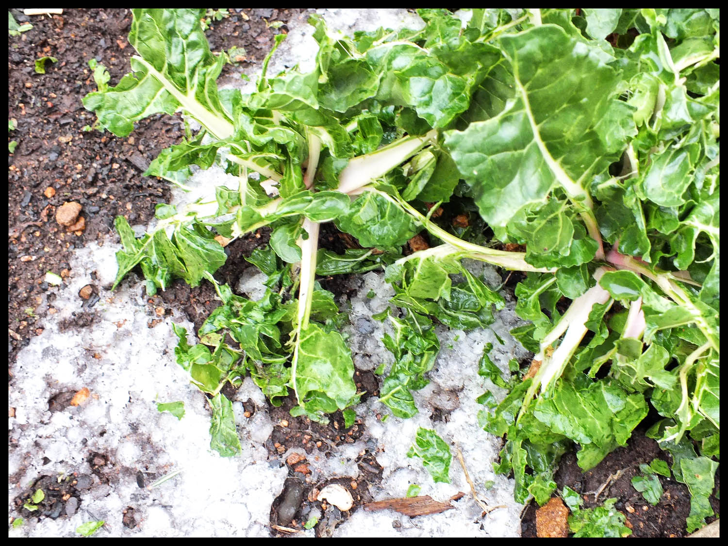 Battered Swiss chard - not quite the image Trish had in mind