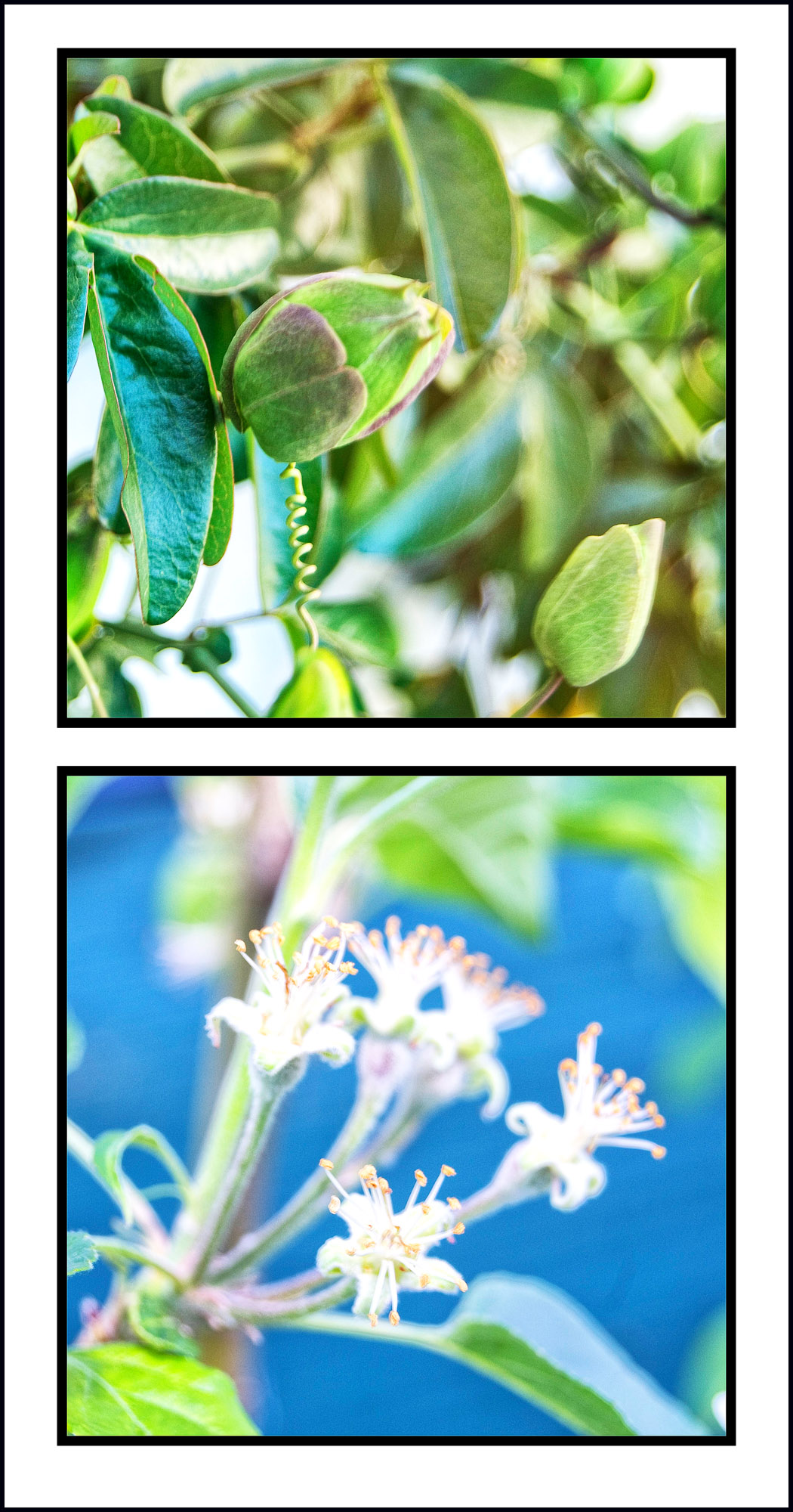 The top photo in this diptych is cause for great excitement in our household. I planted passion fruit vines last spring, taking pains to find a location that would protect against the heavy frosts we get in Canberra. The vines have done well over winter and are now about to fruit.