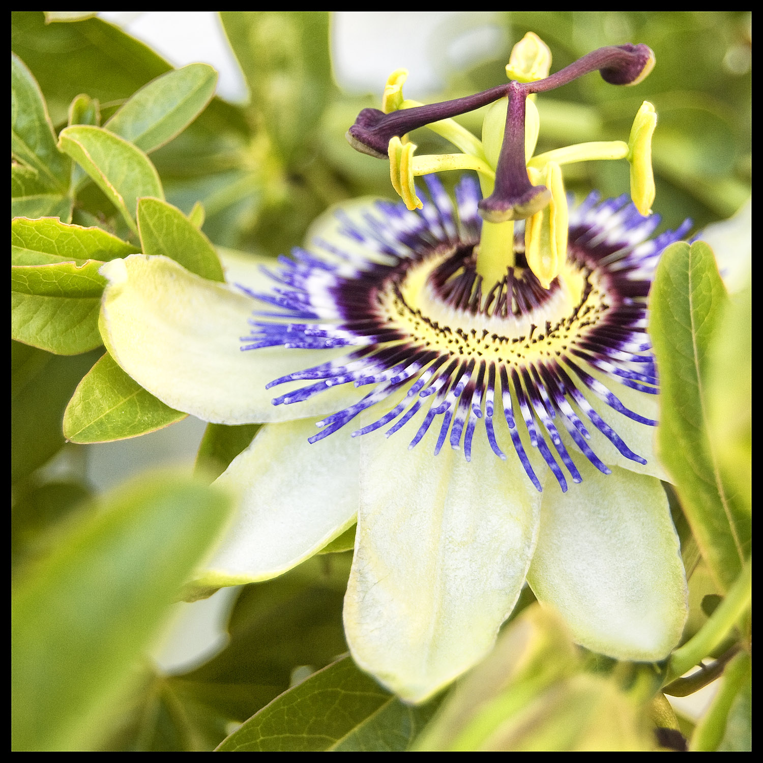 Our passion fruit vines are covered in blooms