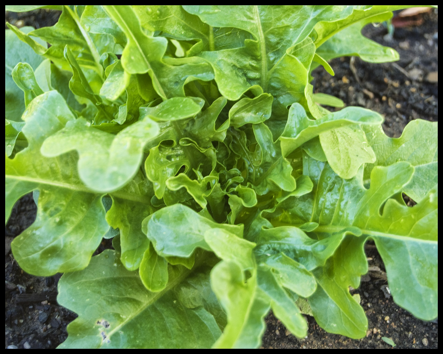 Our first tranche of loose leaf lettuce is now ready for harvest.