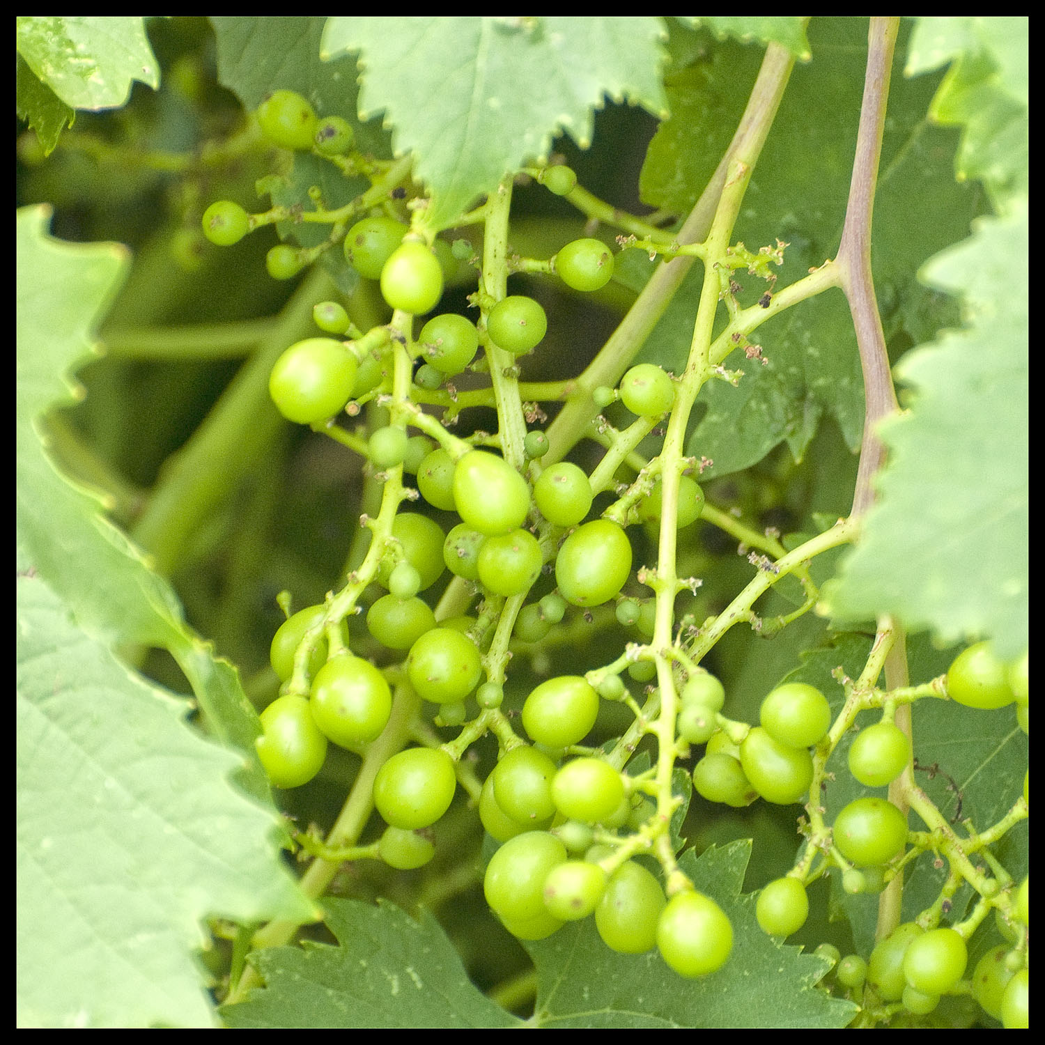 Developing Grapes