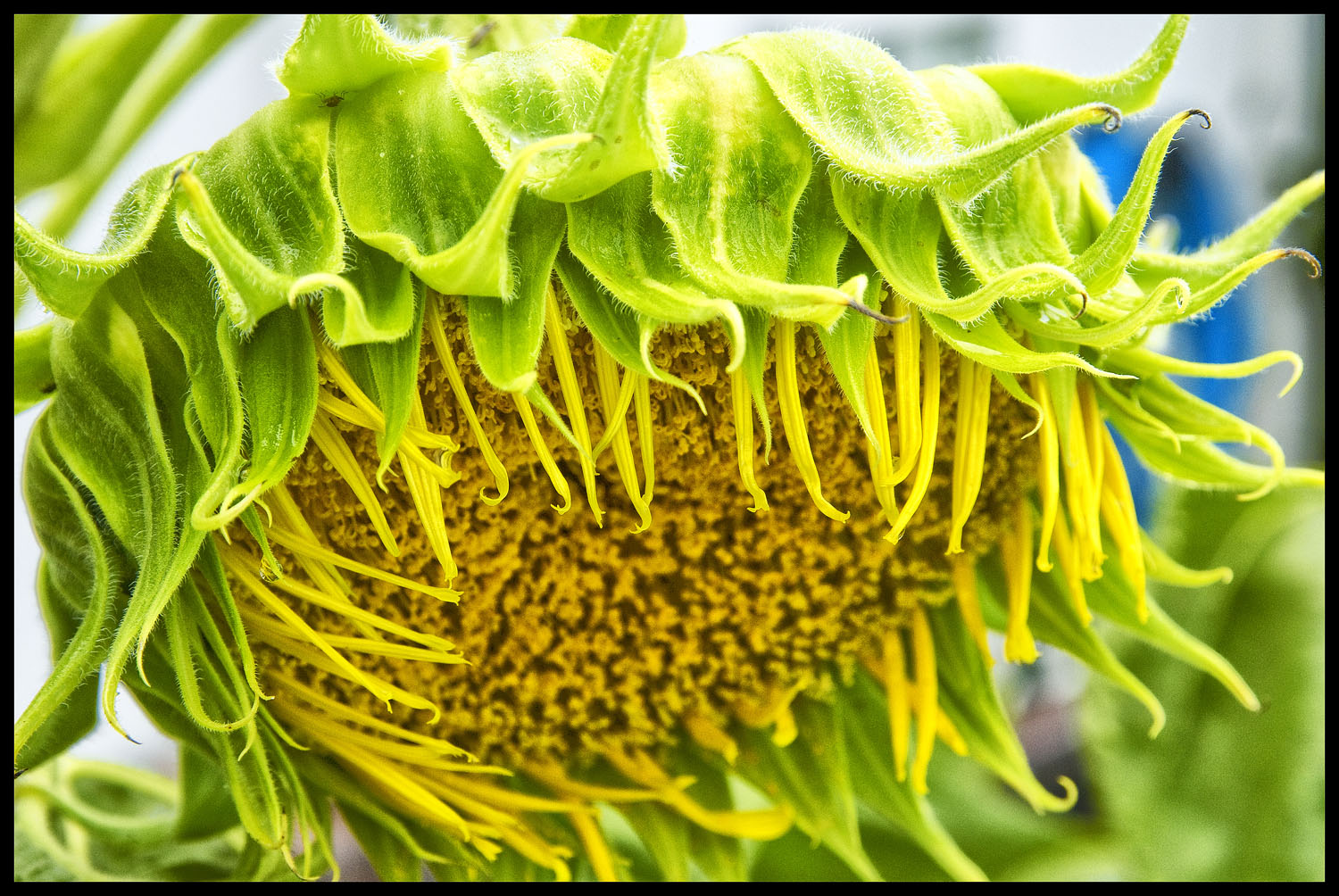 Giant Russian Sunflower