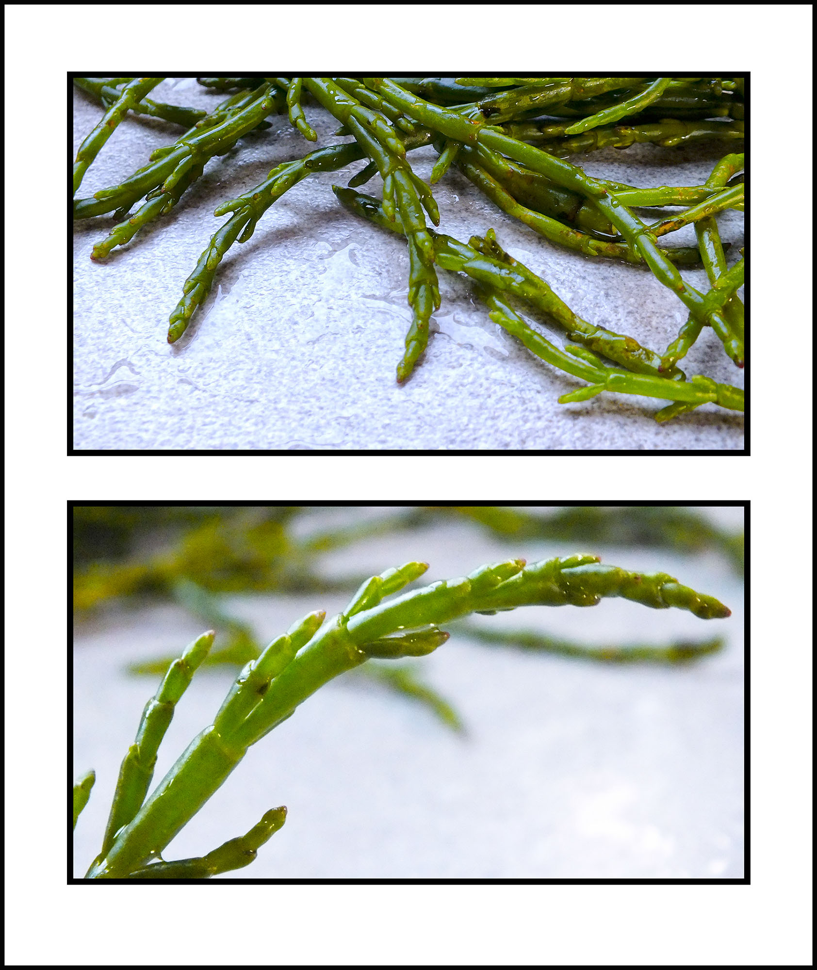 Trish's samphire