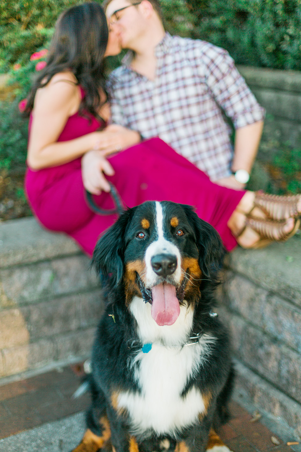 Picture of a Bernese Mountain Dog looking at the camera with his tongue sticking out.  There is an engaged couple kissing behind the dog in downtown Orlando, Florida.