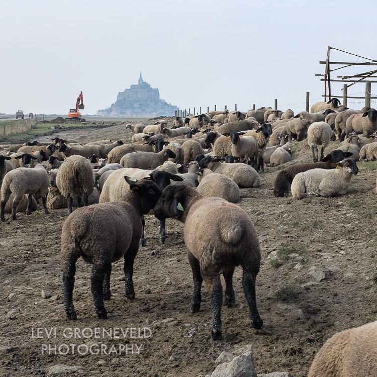 Sheep grazing with Mt St Michel in the background
