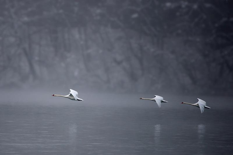 3 Swans in Flight