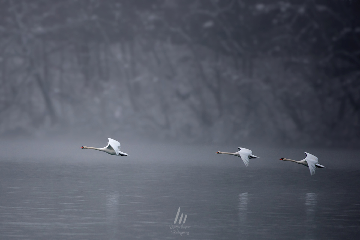 Three Swans by Matija Horvat