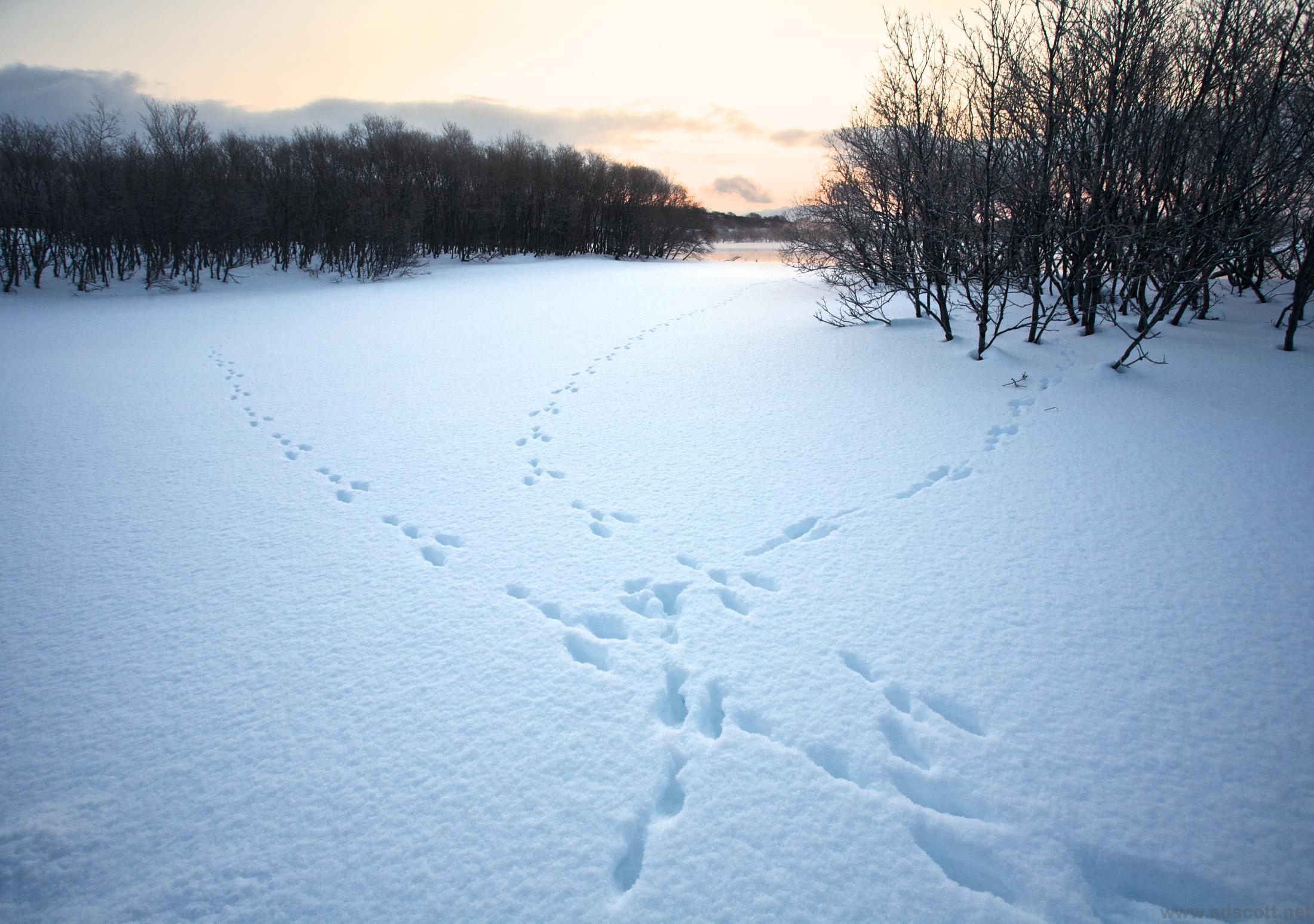 Hare tracks, Kamchatka.