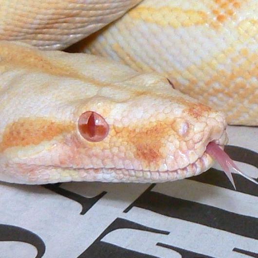 Albino (Sharp)