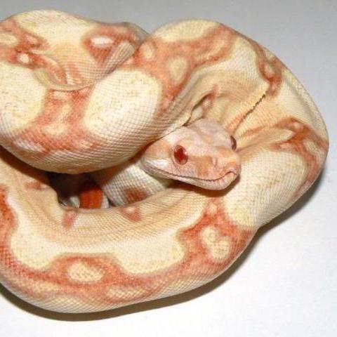 Albino Jungle (Kahl)