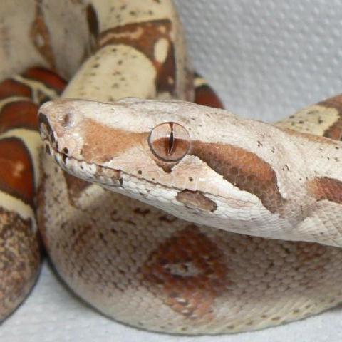 VPI T+ Albino