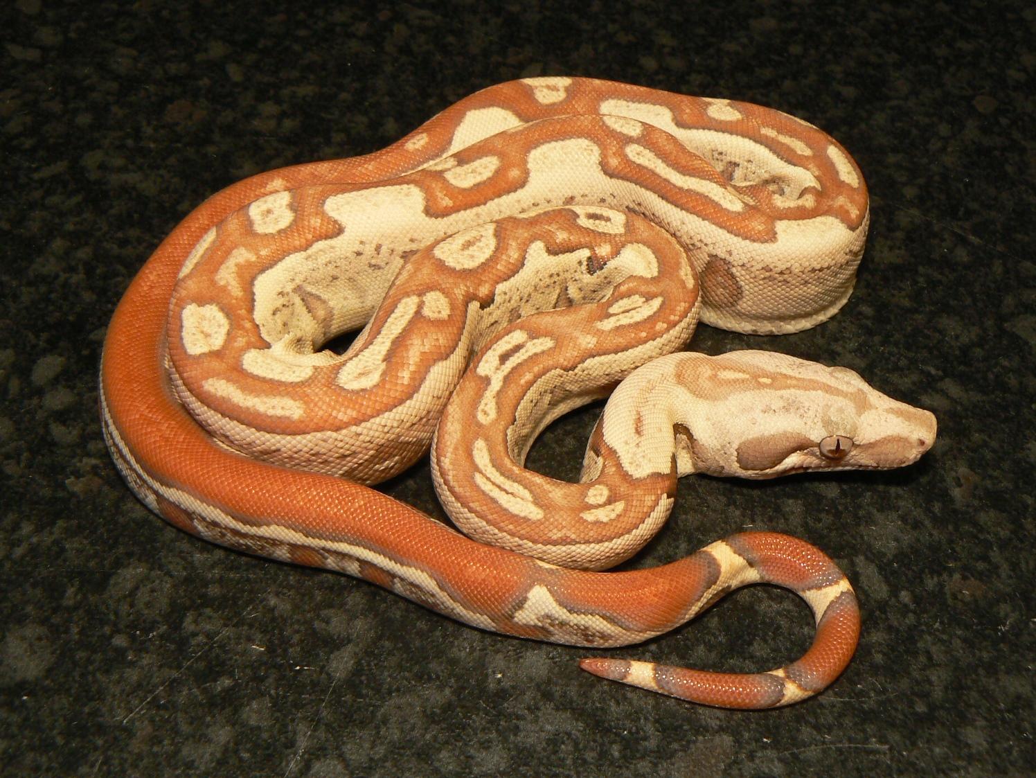 Female F2  VPI T+ Albino Jungle.JPG