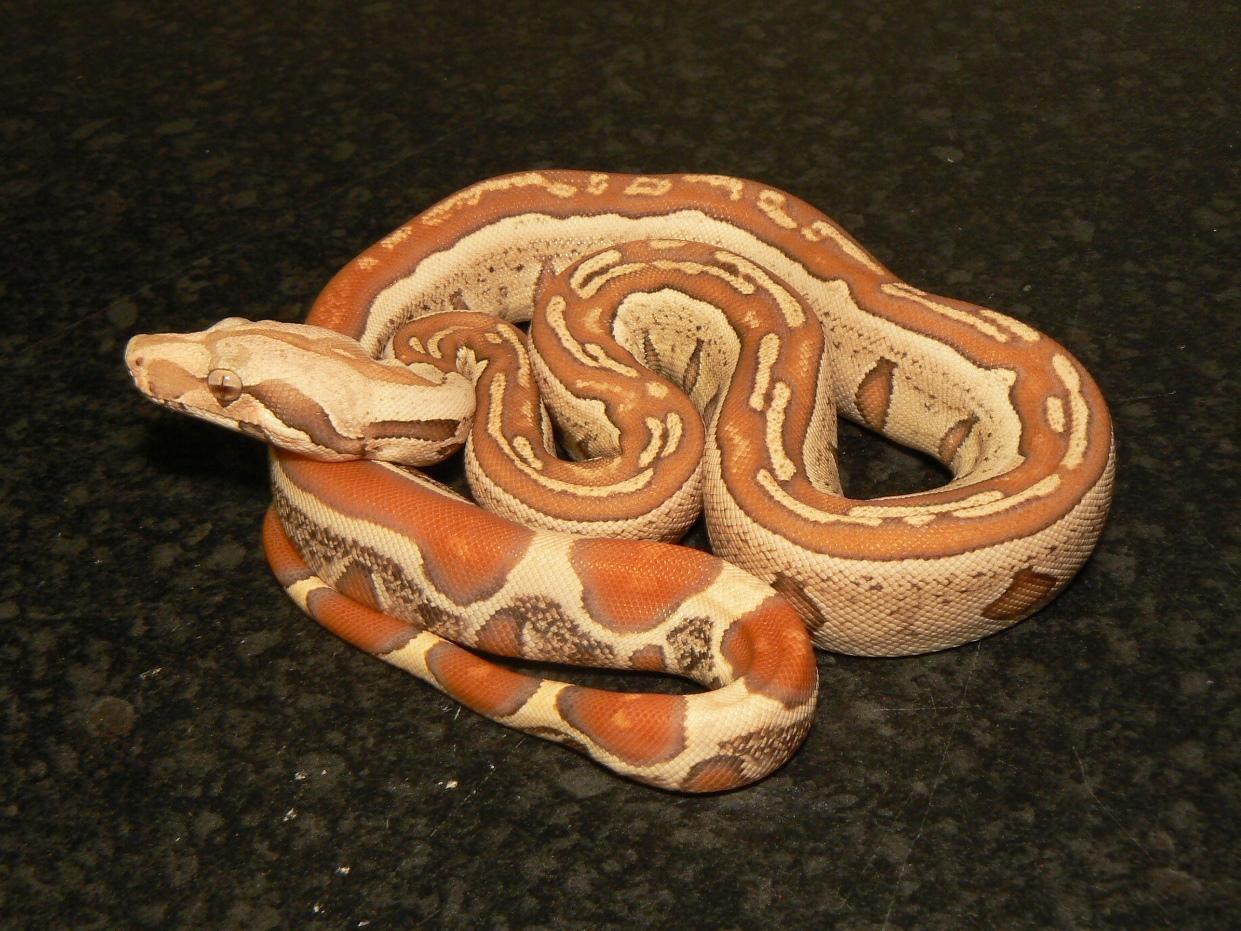 Male M1 VPI T+ Albino Jungle.JPG